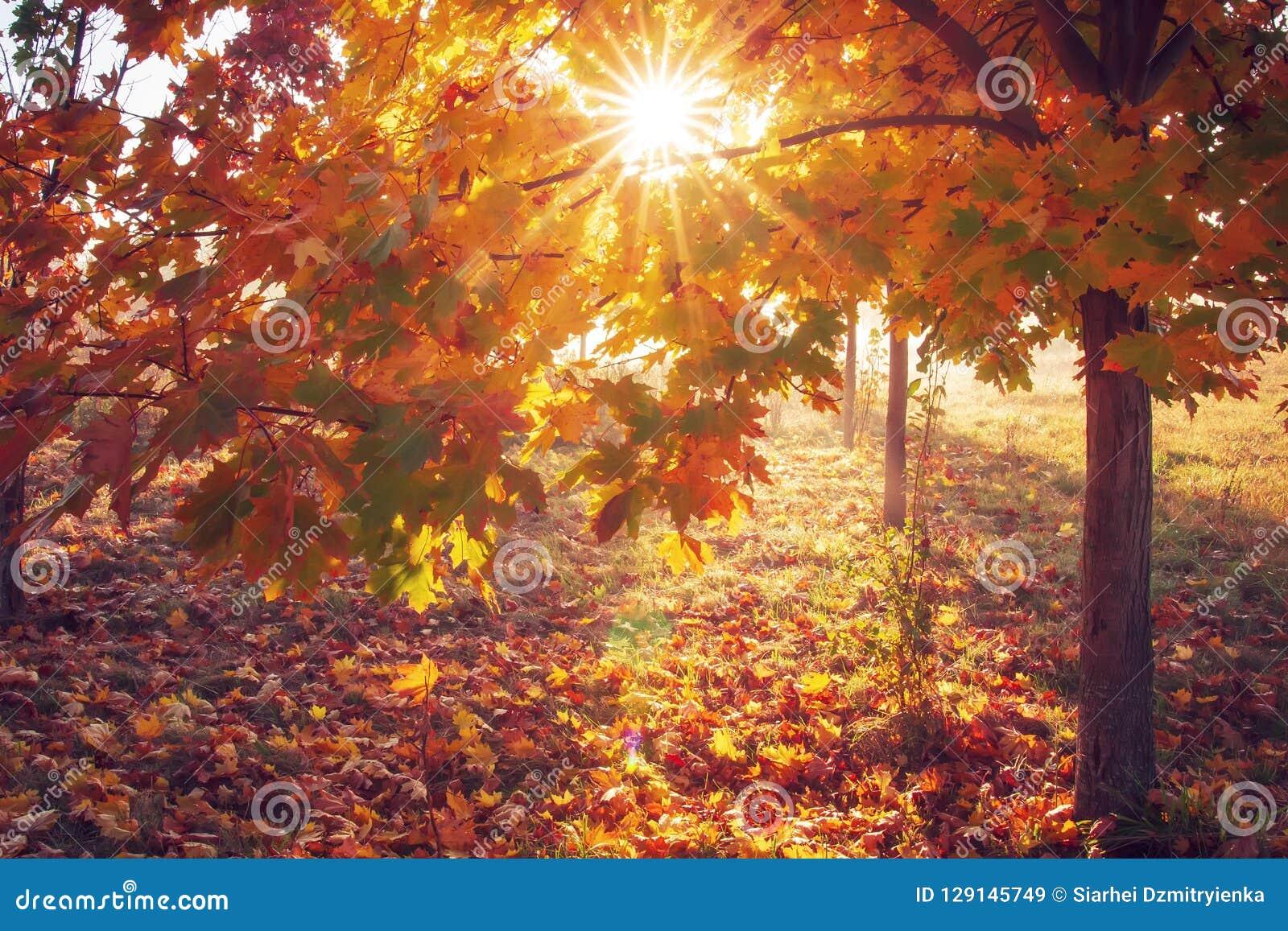 Jesienią kolorowe tło Słońce przez koloru żółtego i czerwoni liście drzewo w wschodzie słońca jesień błękit długa natura ocienia