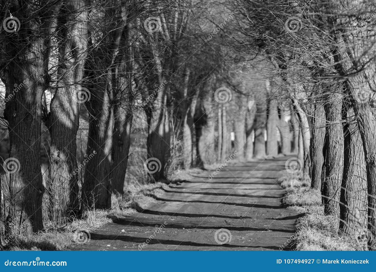 Jesieni aleja drzewa w czarny i biały