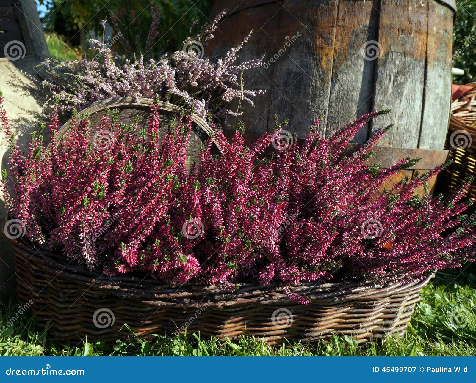Jesieni dekoracja purpurowy wrzos, molwa kwitnie