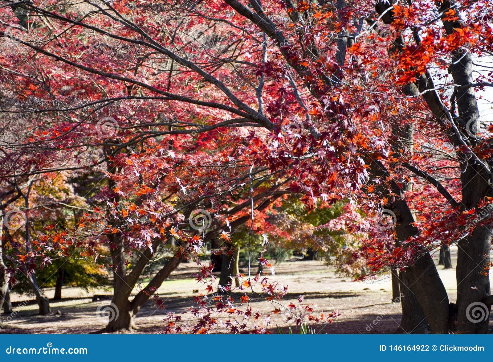 Jesieni Klonowy drzewo W Shinjuku Gyoen obywatela ogr?dzie, Shinjuku, Tokio, Japonia