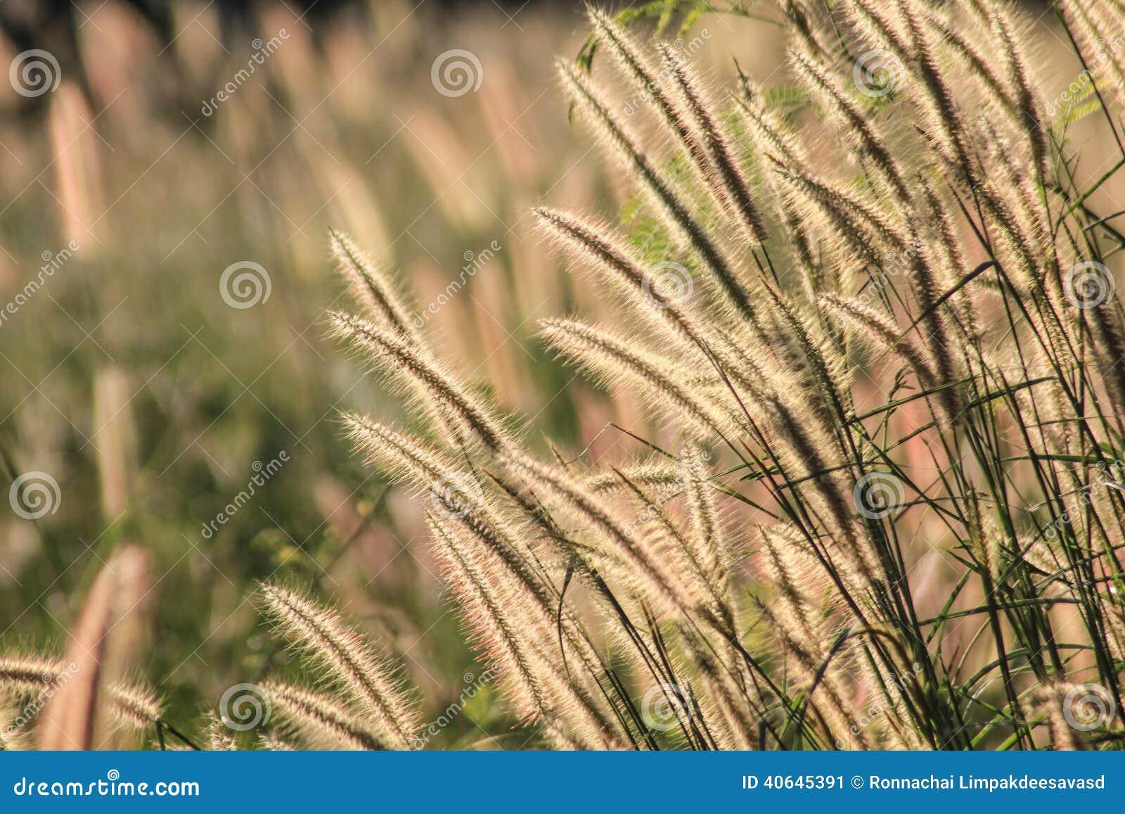 Jesieni Kwiatonośna trawa