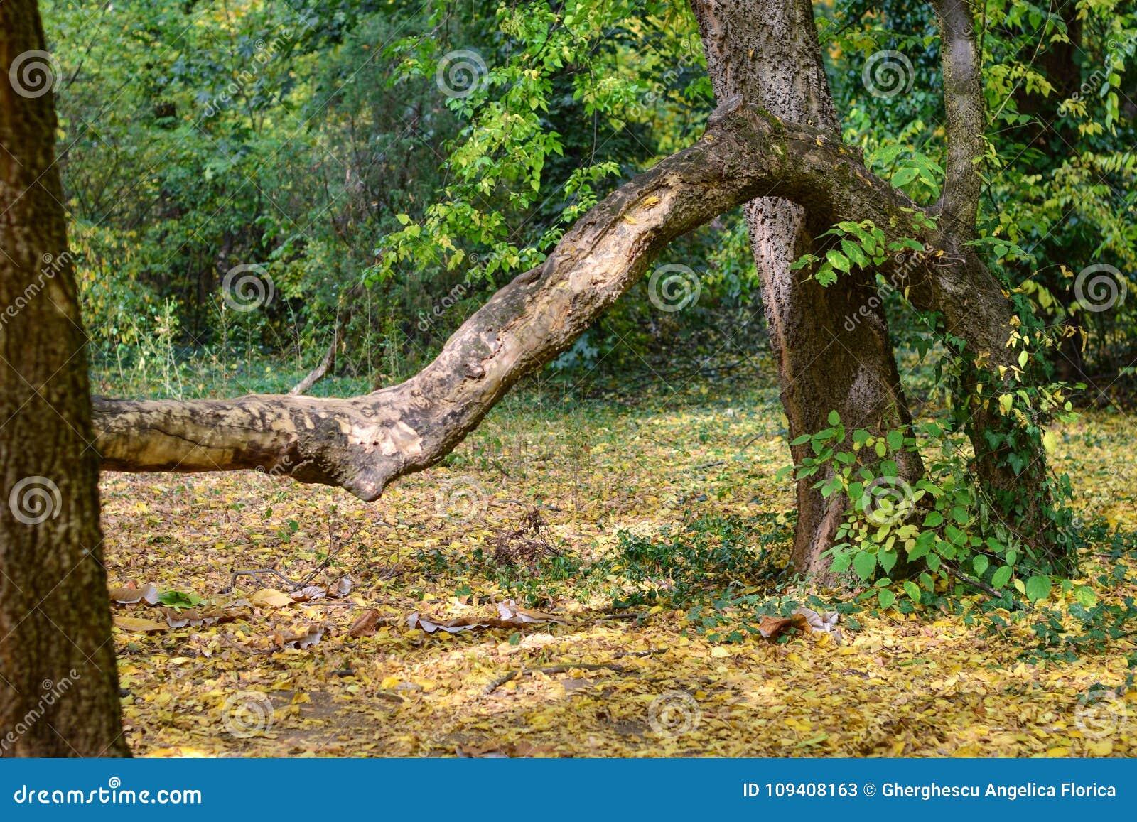 Jesieni skrzywiony drzewo przy ogródem botanicznym