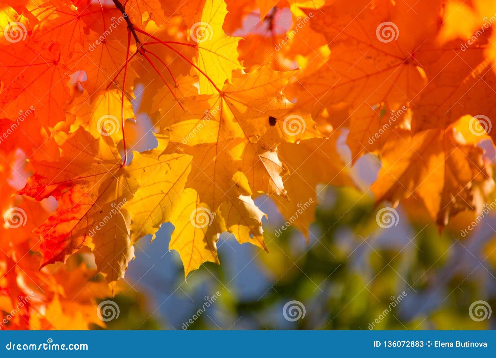 Jesienni liście klonowi w zamazanym tle