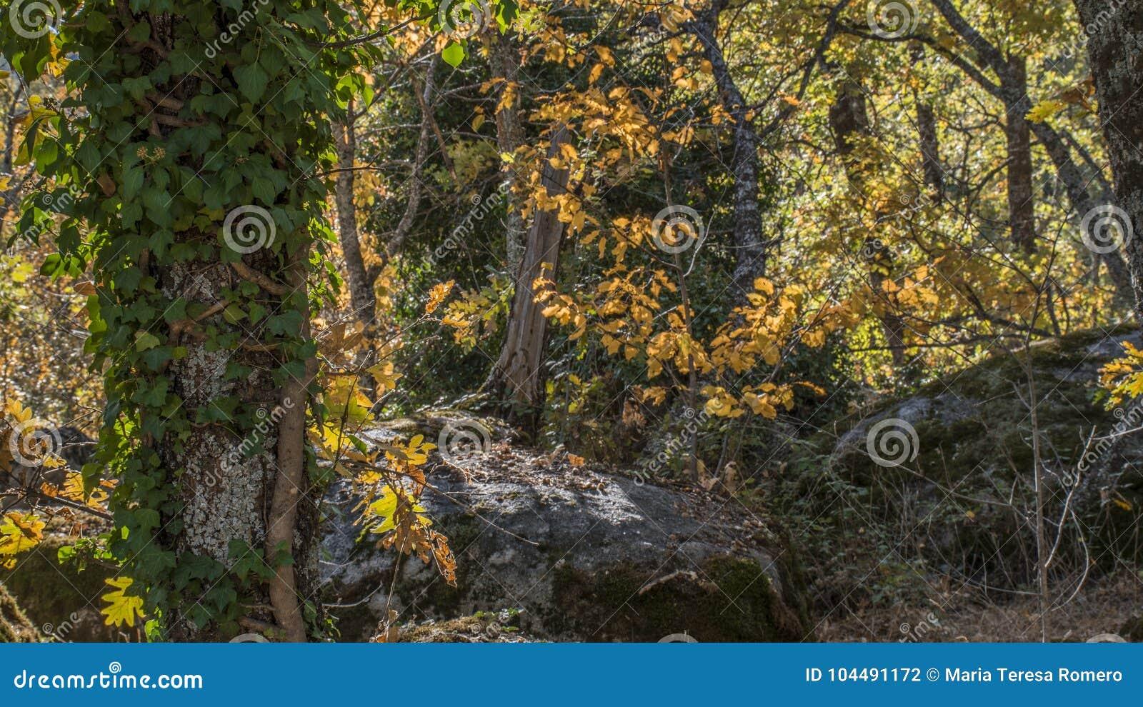 Jesienny szczegół losu angeles Herreria dębowy las, San Lorenzo Del Escor