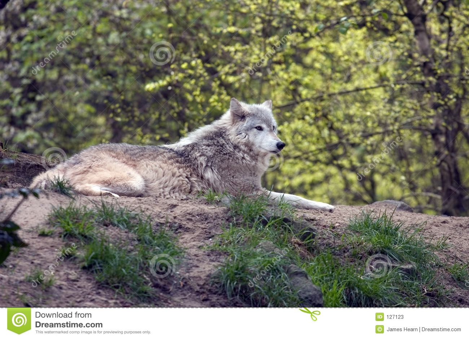 Jestem wilk szary