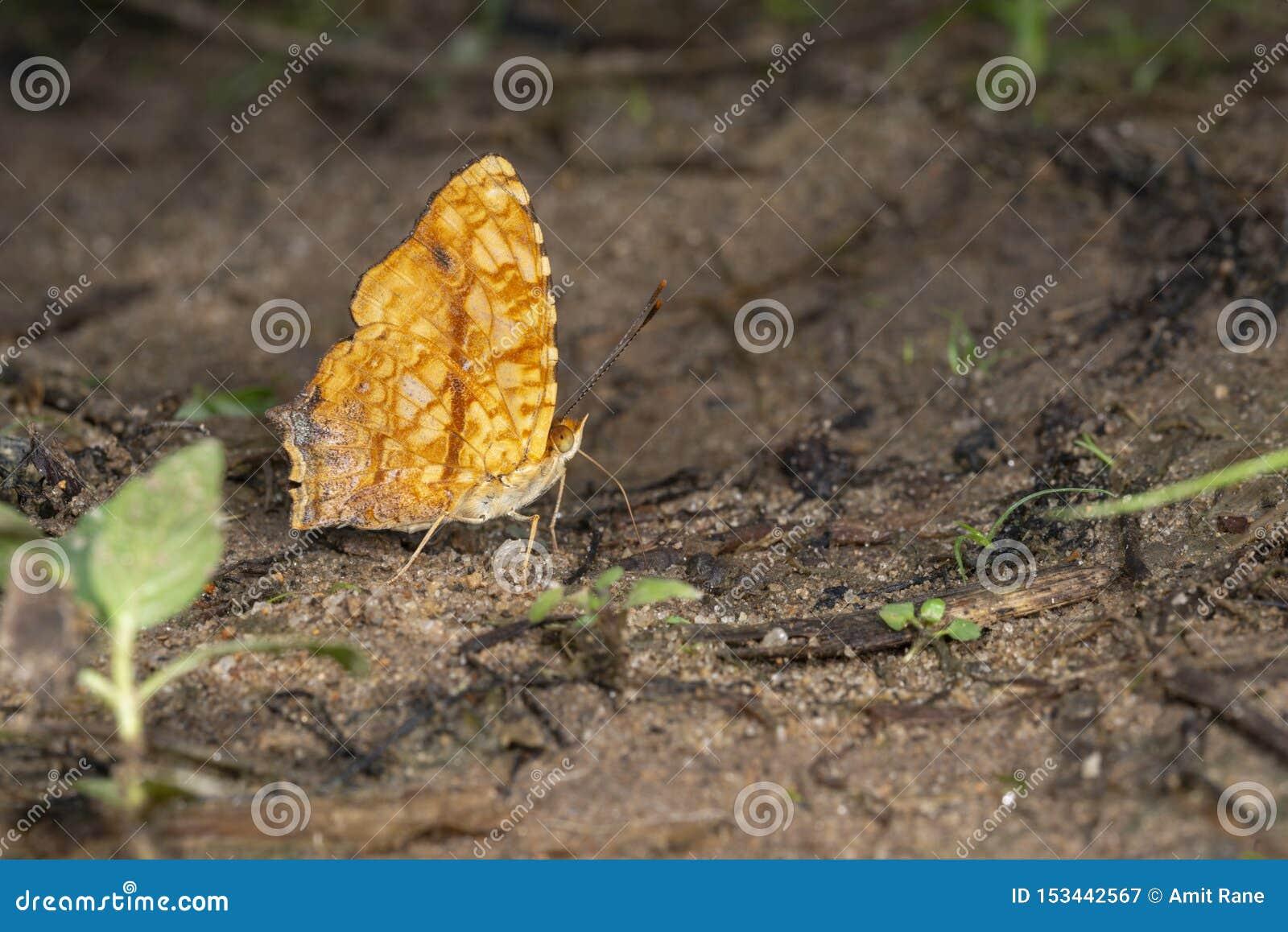 Jester Butterfly comum em montes de Garo, Meghalaya, Índia