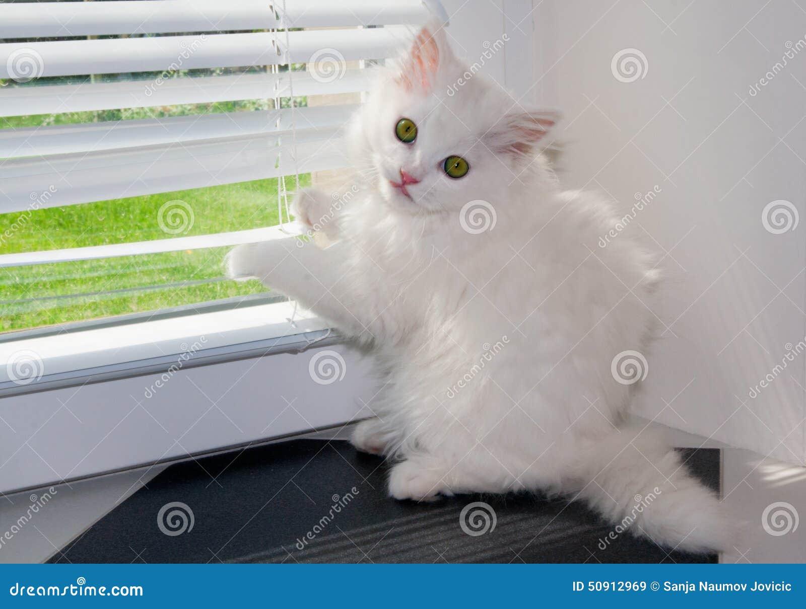 Jeter un coup d oeil blanc de chat persan