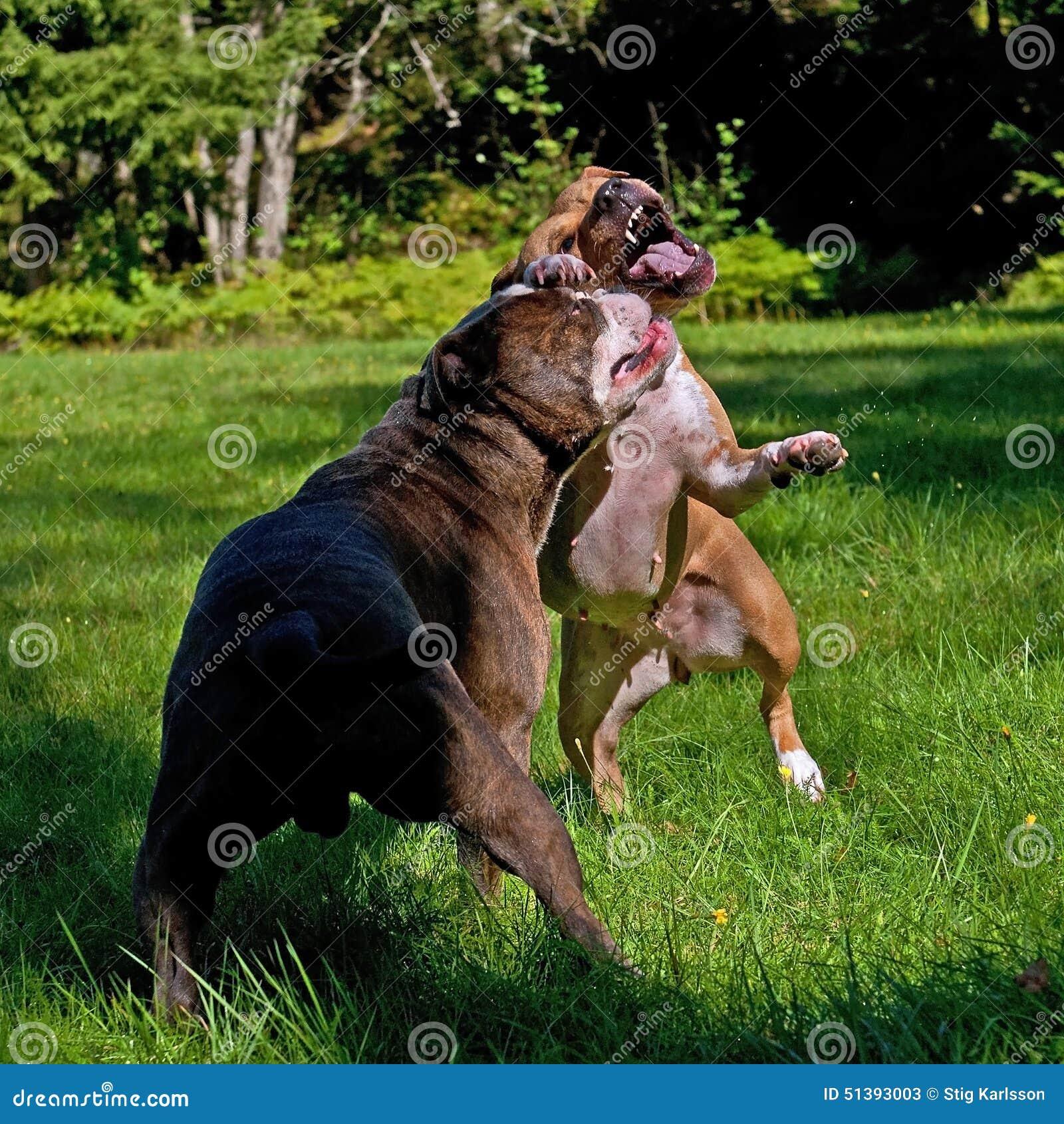 jeu de pitbull combattant avec le bouledogue anglais d 39 antan image stock image du ext rieur. Black Bedroom Furniture Sets. Home Design Ideas