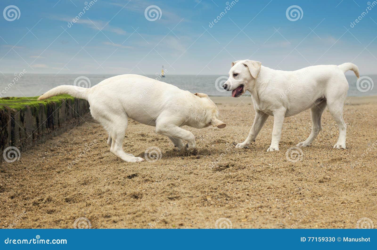 Jeu mignon de deux petits chiens à la plage