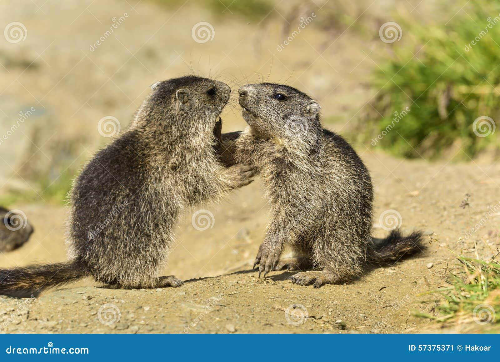 Jeugd Alpiene marmot