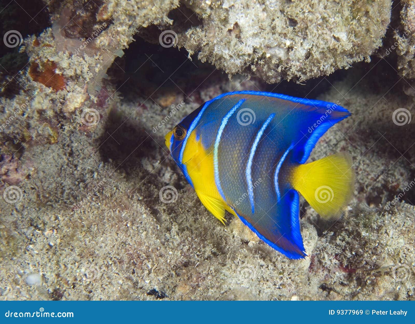 Jeugd Blauwe Zeeëngel