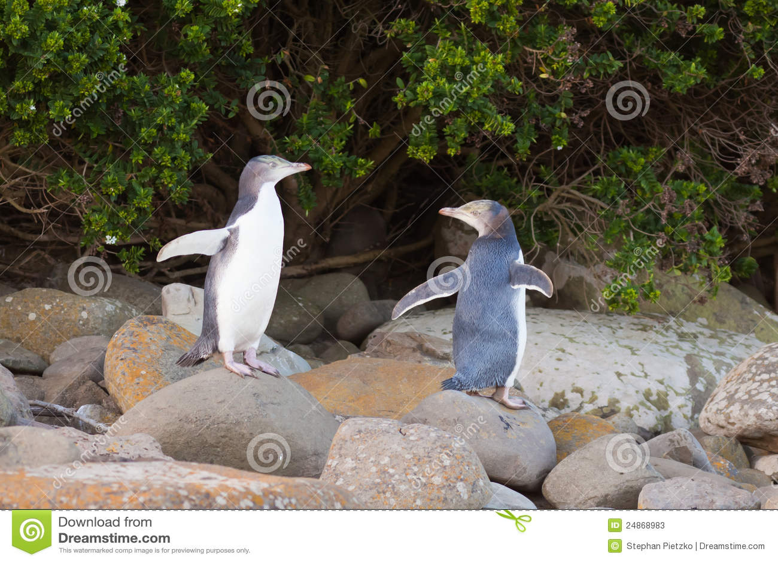 Jeugd geel-Eyed Pinguïnen NZ of Hoiho op kust