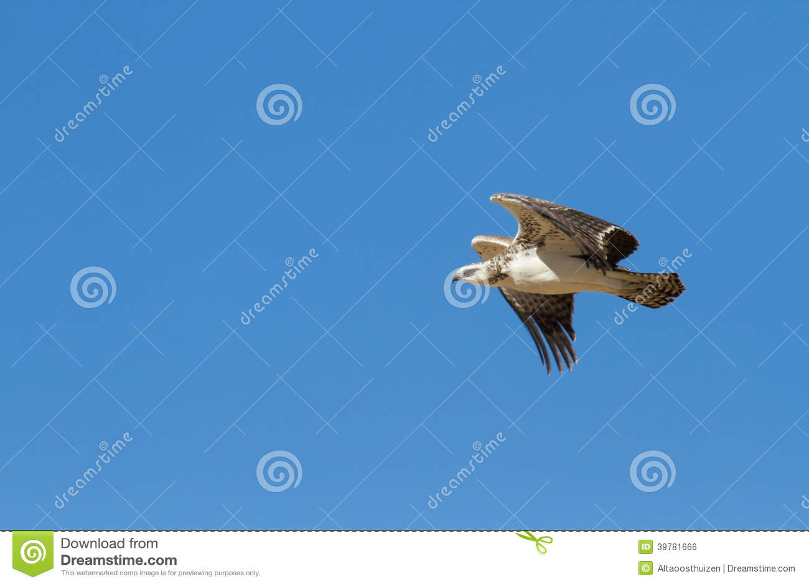 Jeugd majestueuze krijgsadelaar die aan een nest in blauwe Kalahar vliegen