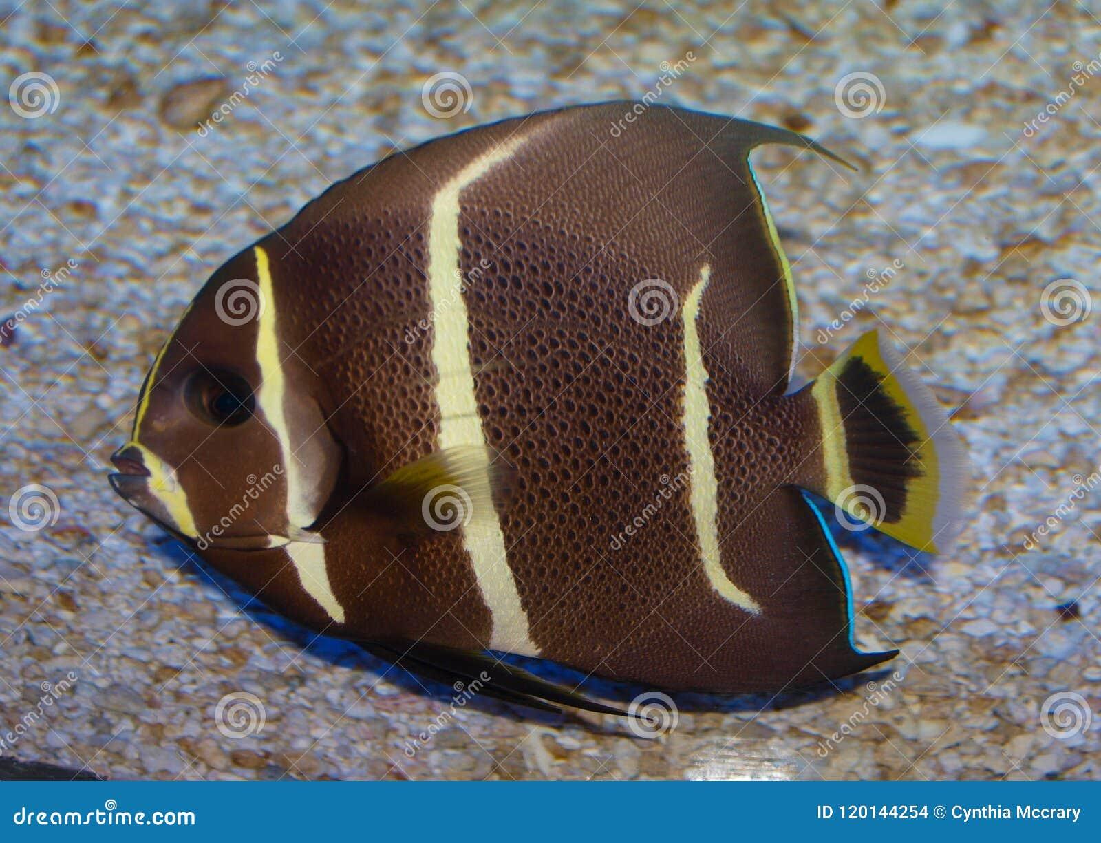 Jeugdgray angelfish pomacanthus paru