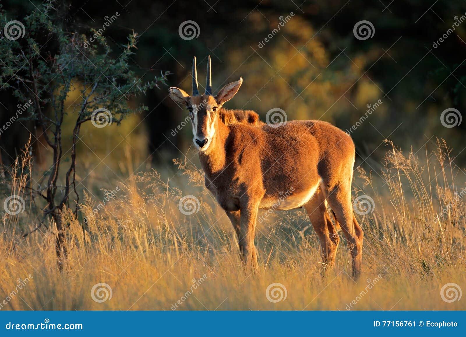 Jeune antilope de sable