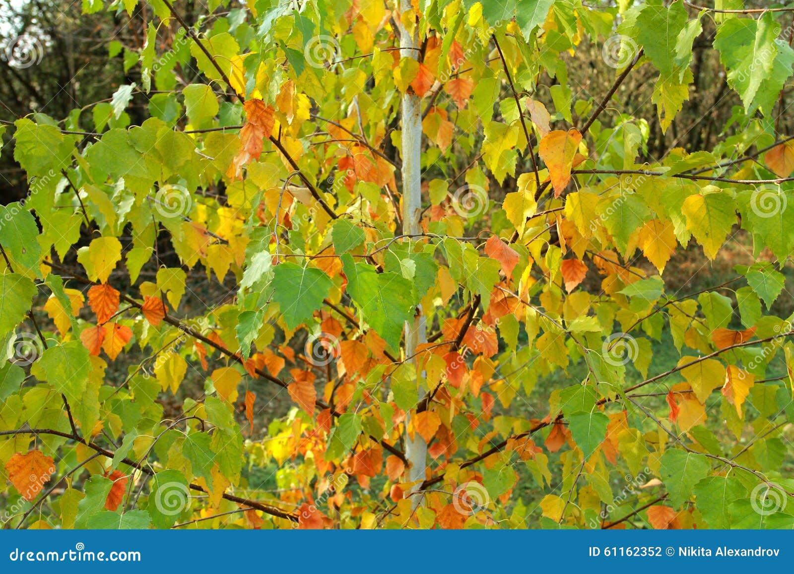 Jeune arbre de bouleau avec les feuilles rouges jaunes et - Feuille de bouleau photo ...