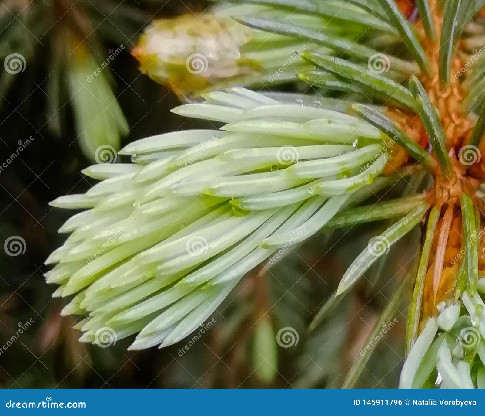 Jeune brin vert de SAPIN
