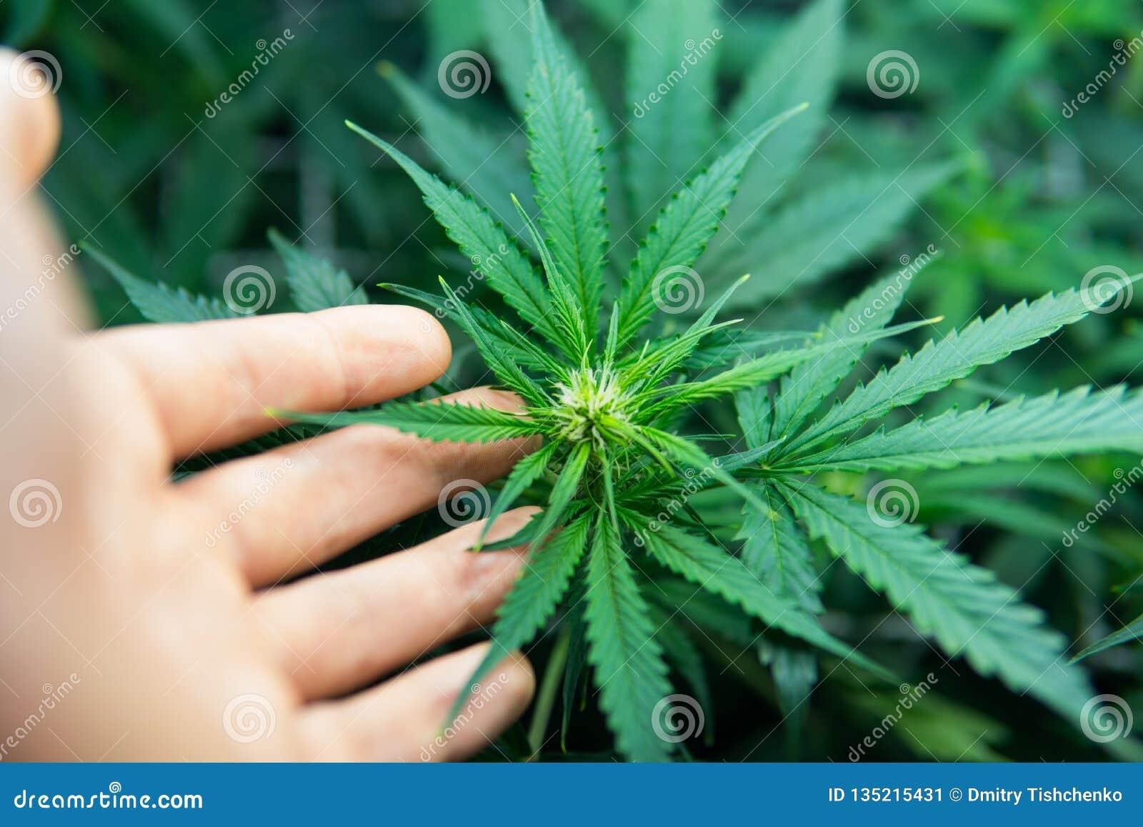 Jeune centrale de cannabis Culture juridique de marijuana dans la maison Cannabis au début de la floraison