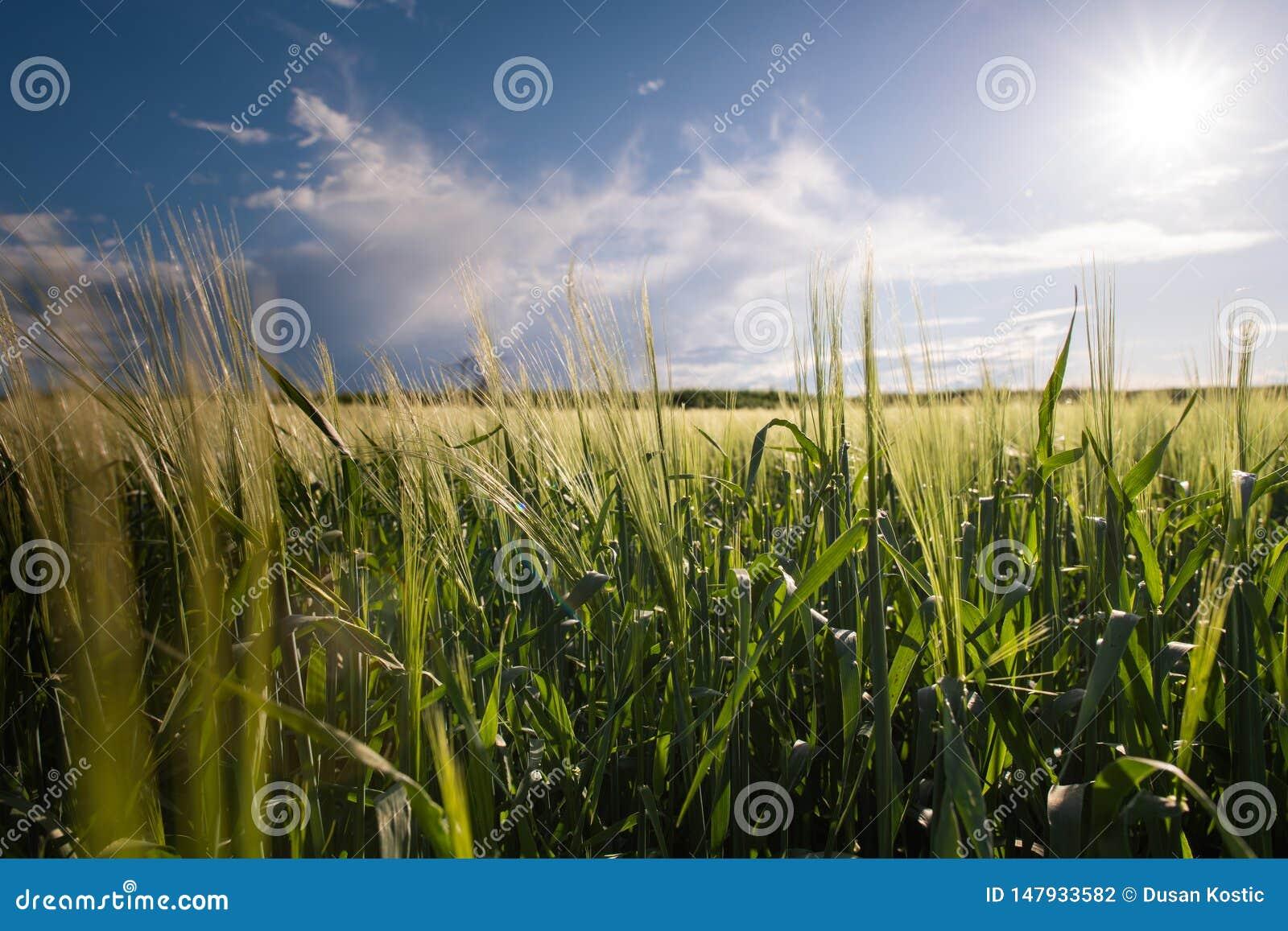 Jeune champ de blé dans le jour ensoleillé