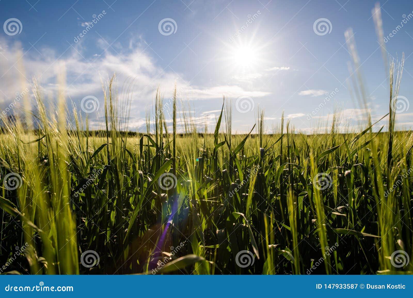 Jeune champ de bl? dans le jour ensoleill?