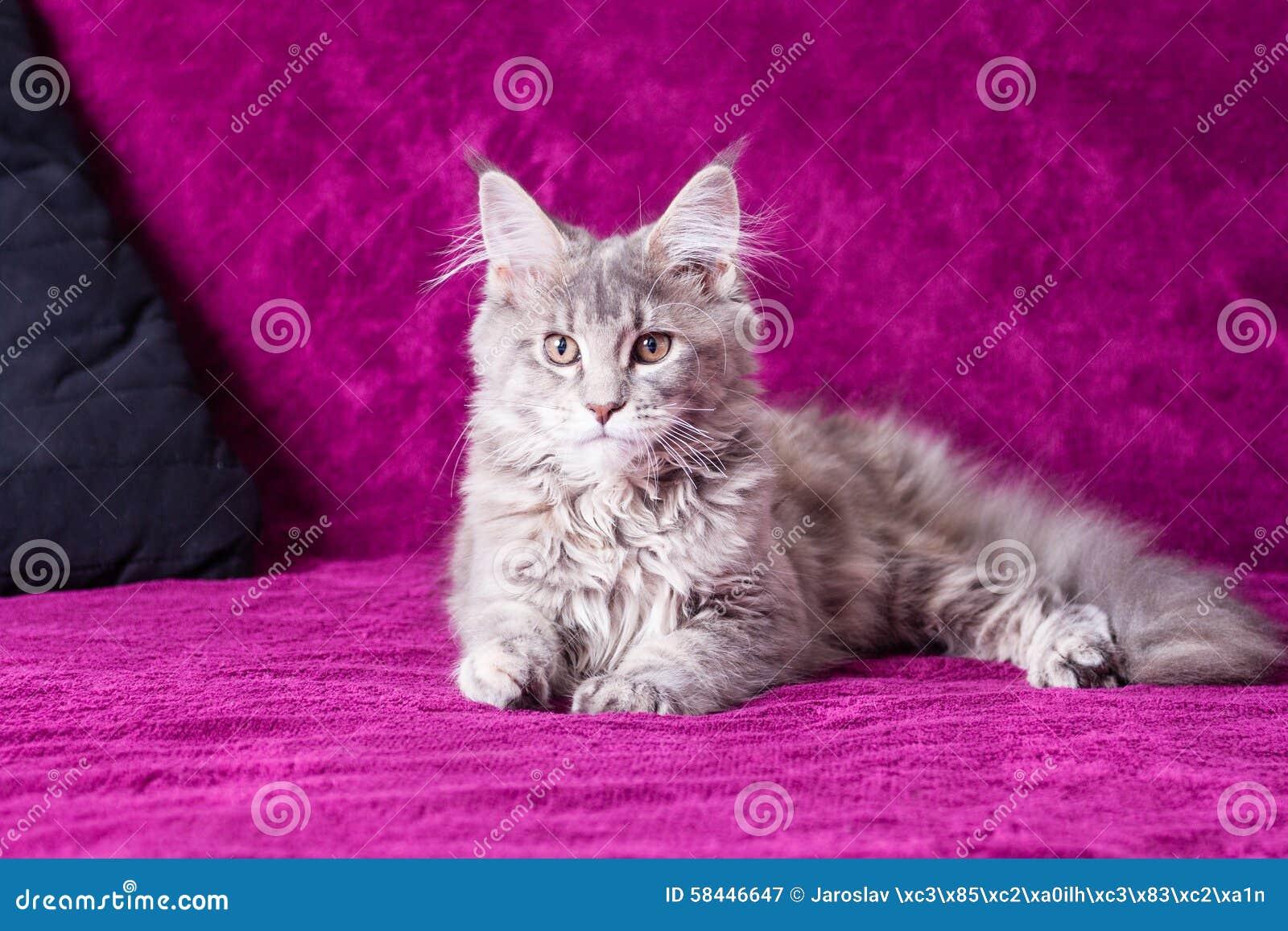 Jeune chat de ragondin du Maine