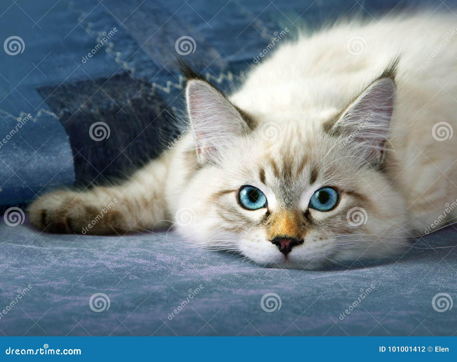 Jeune chat sibérien de colorpoint de masquarade de neva