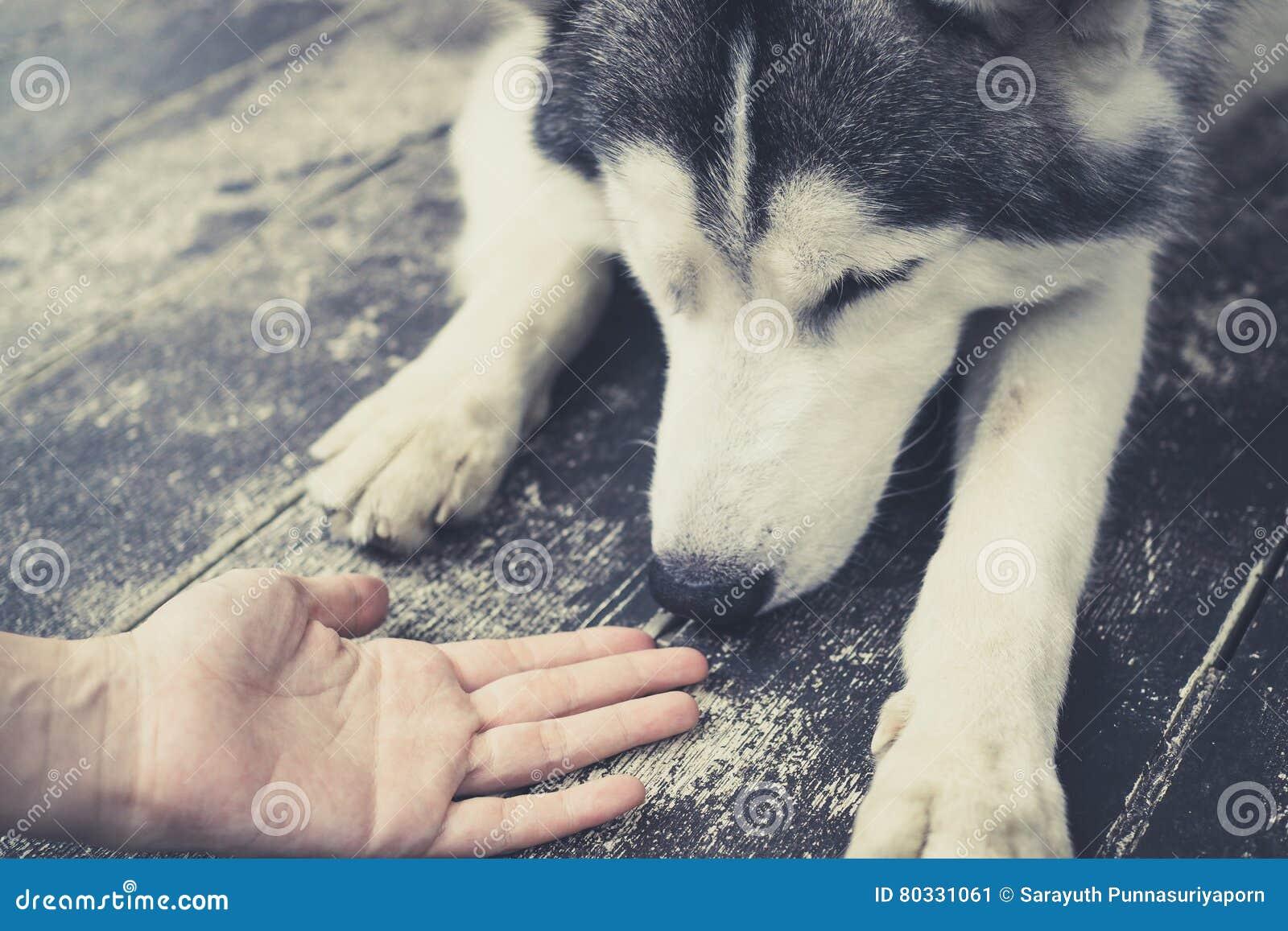 Jeune chien de Husky Siberian reniflant aux mains humaines