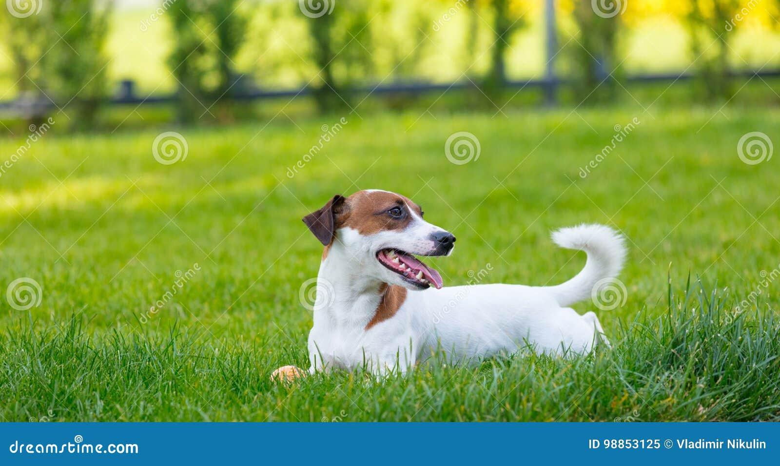 Jeune chien lisse-enduit de Jack Russell Terrier