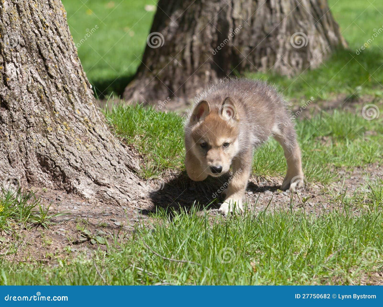 Jeune chiot de loup