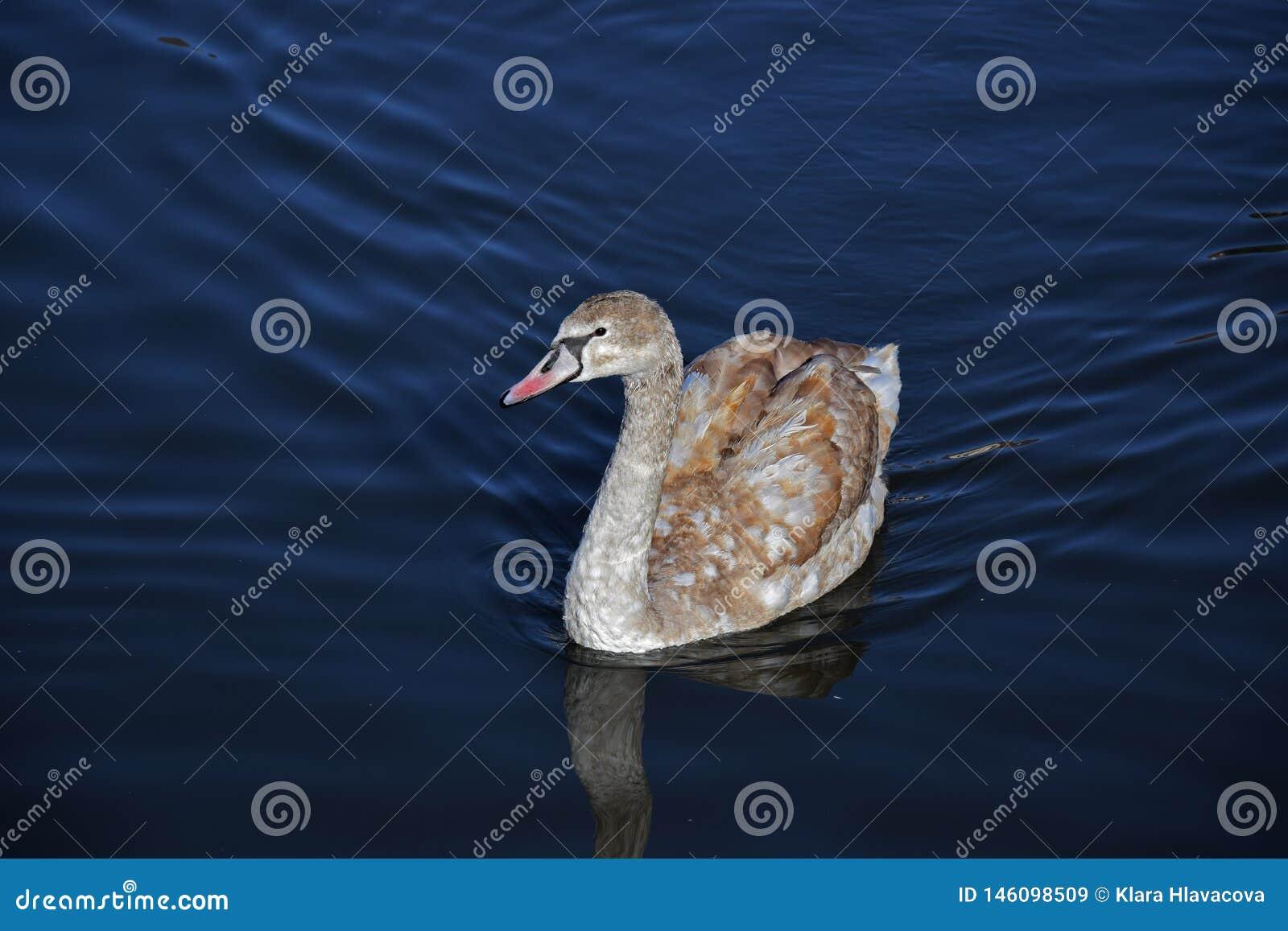Jeune cygne sur l eau bleue