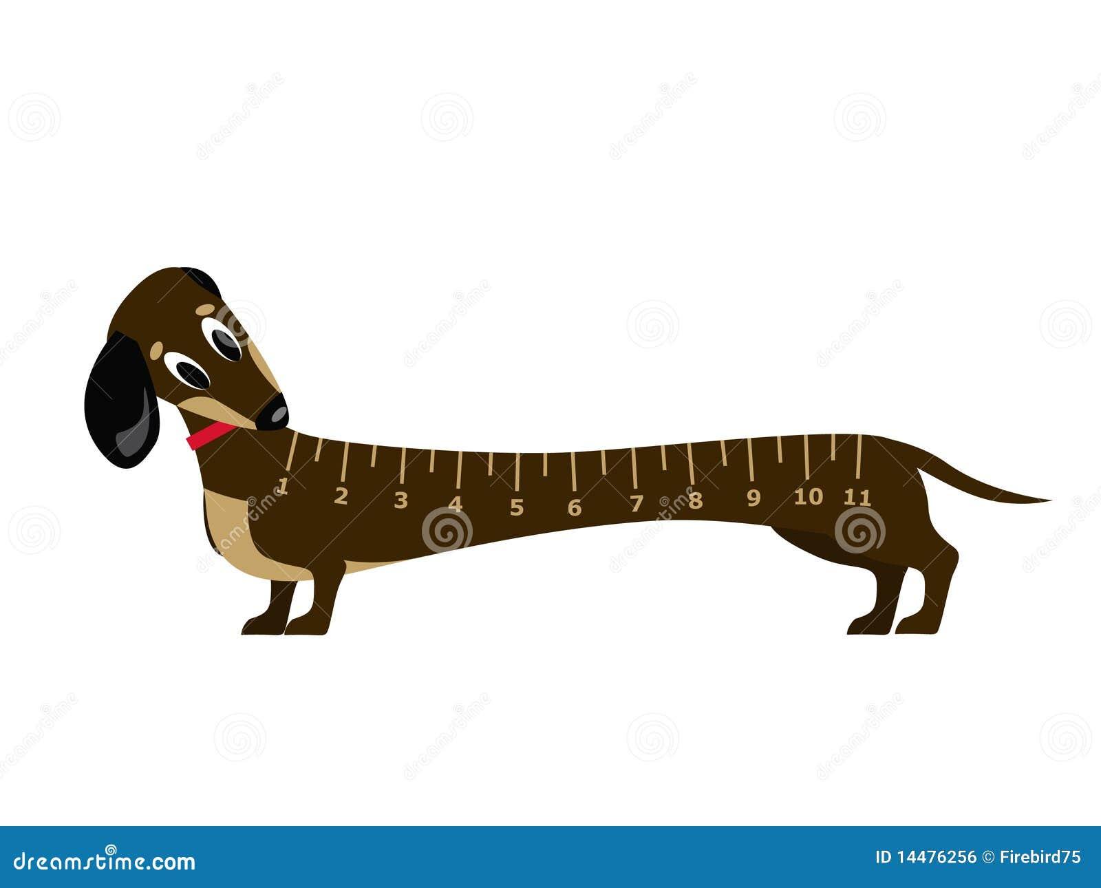Jeune dachshound stupéfait