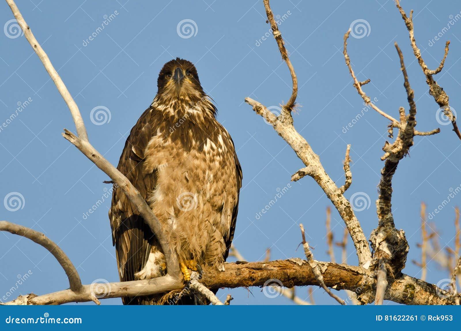 Jeune Eagle Perched High chauve dans un arbre stérile