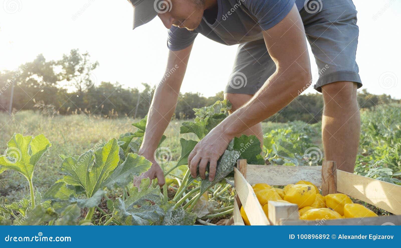Jeune exploitant agricole moissonnant un potiron de buisson dans la boîte en bois au champ de la ferme organique