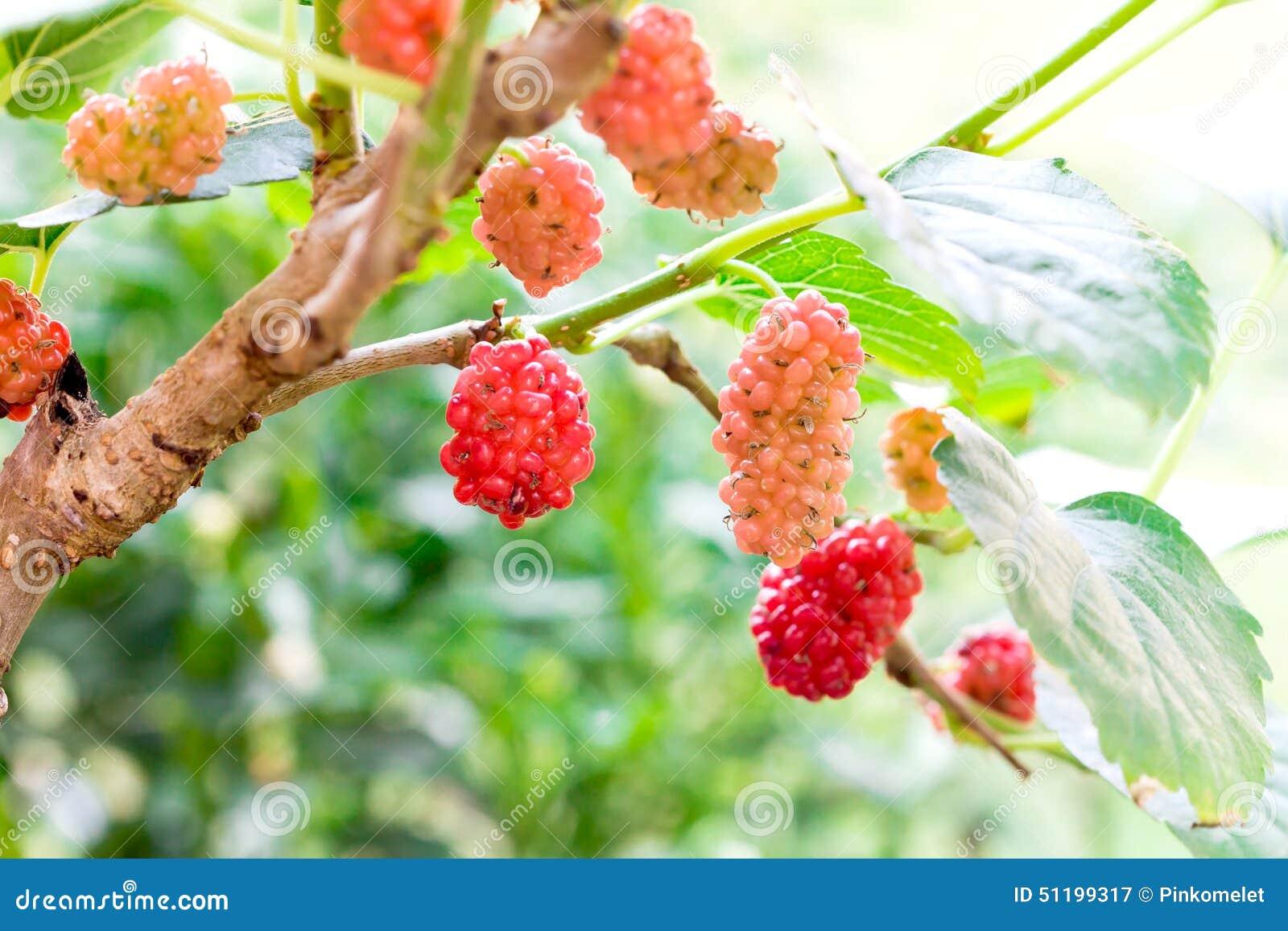 Jeune fruit de m re rouge sur l 39 arbre image stock image du d0 agriculture 51199317 - Arbre feuille rouge fruit rouge ...