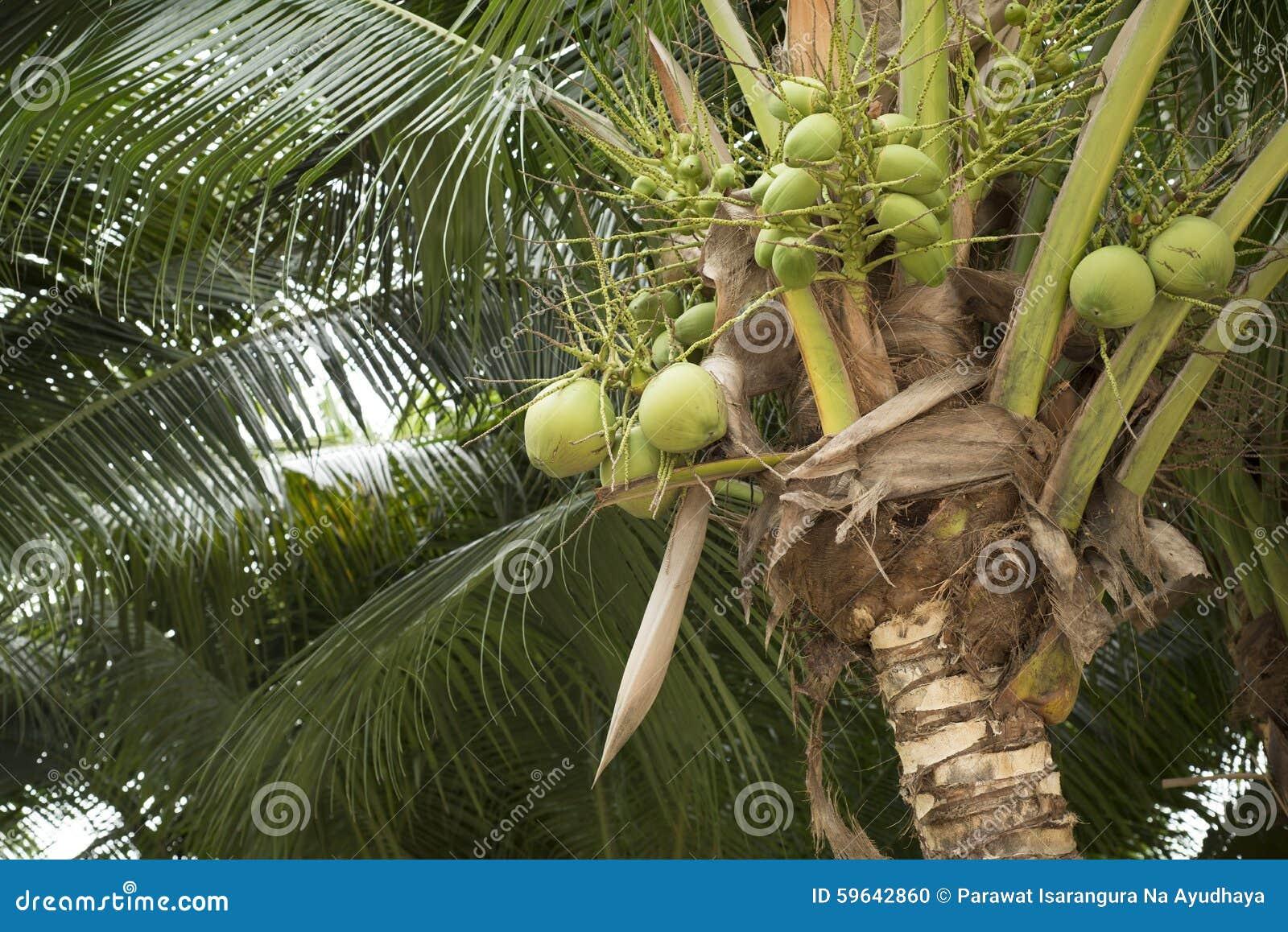 Jeune fruit vert de noix de coco sur l 39 arbre de noix de coco photo stock image 59642860 - Arbre noix de coco ...