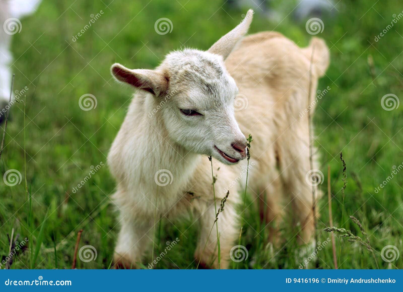 Jeune gosse de chèvre