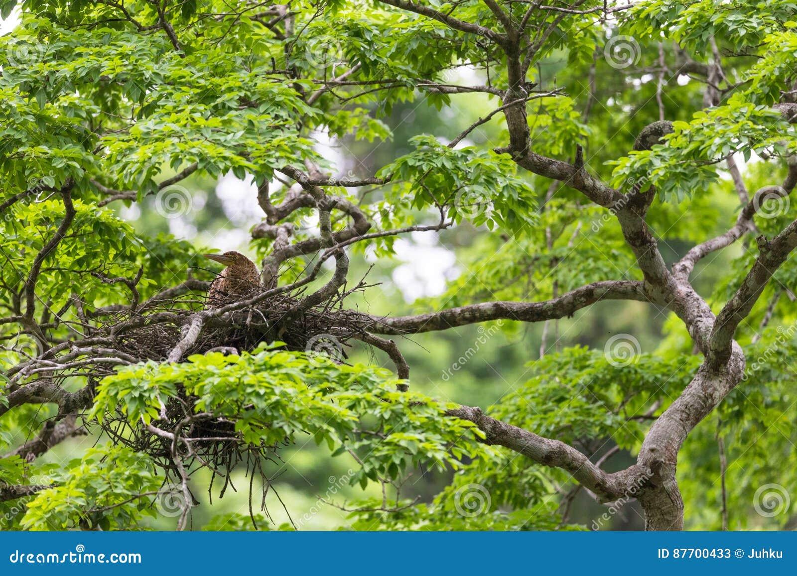 Jeune héron de tigre dans le nid de cime d arbre