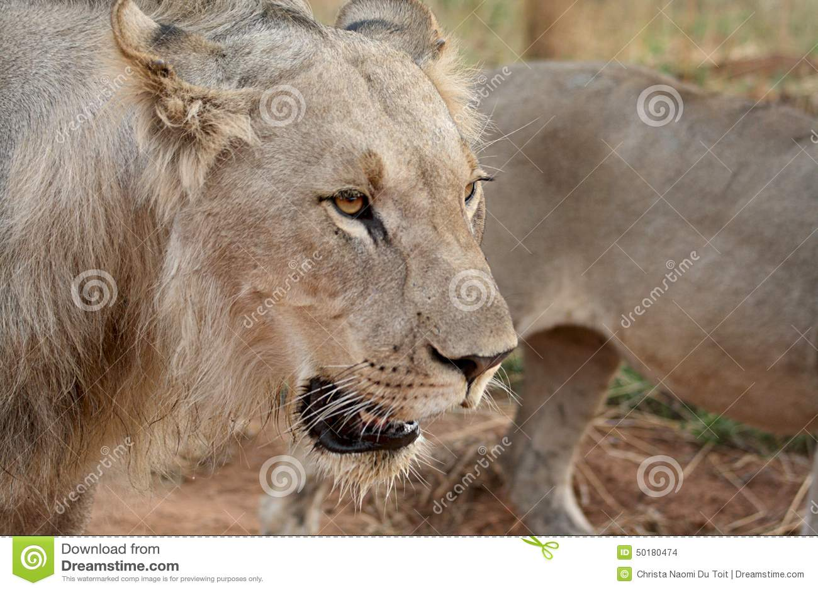 Jeune lion masculin juvénile