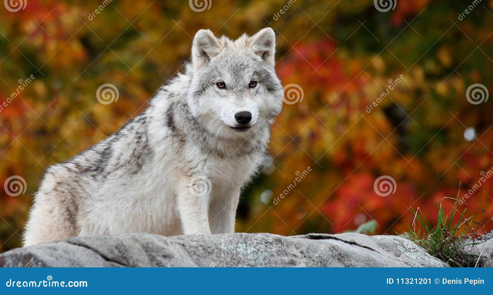 Jeune loup arctique regardant l appareil-photo