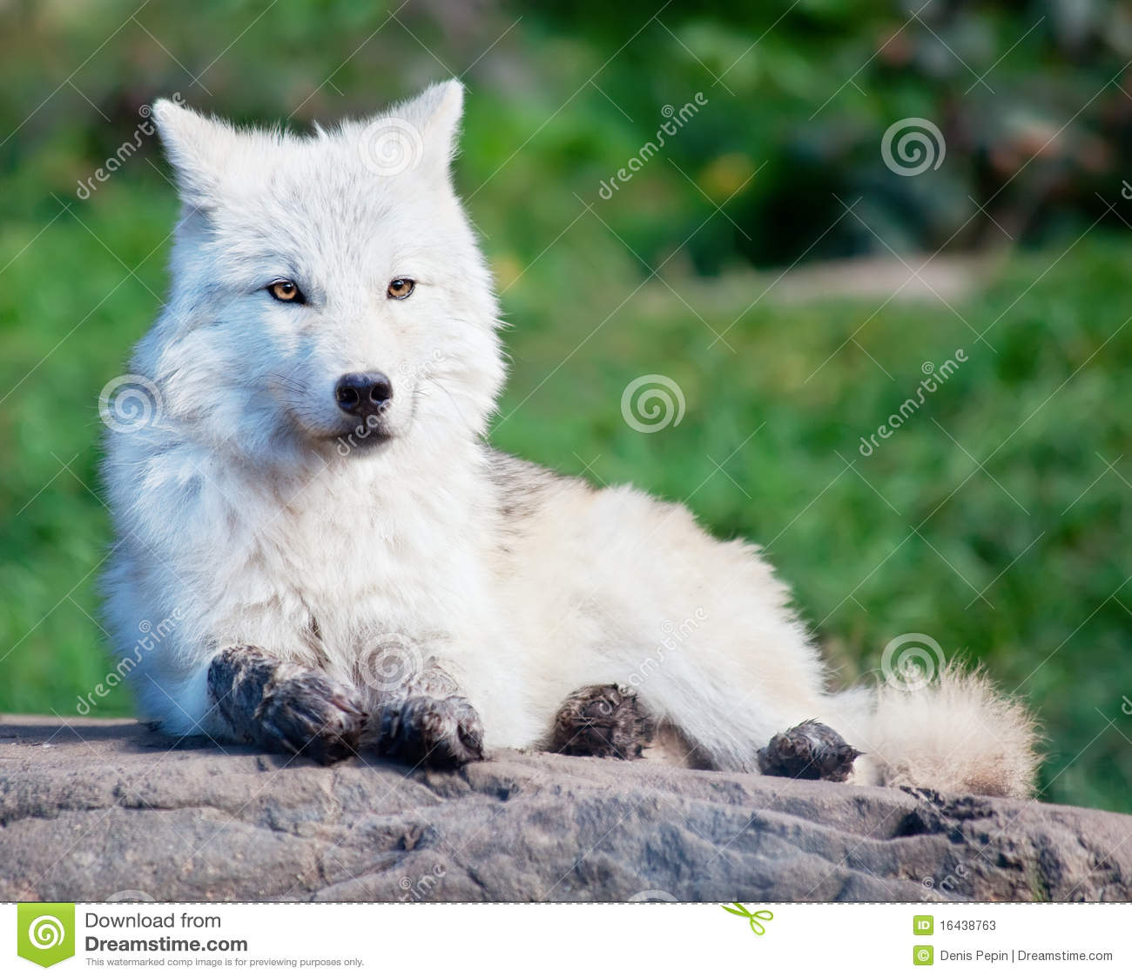 Jeune loup arctique se couchant sur une roche