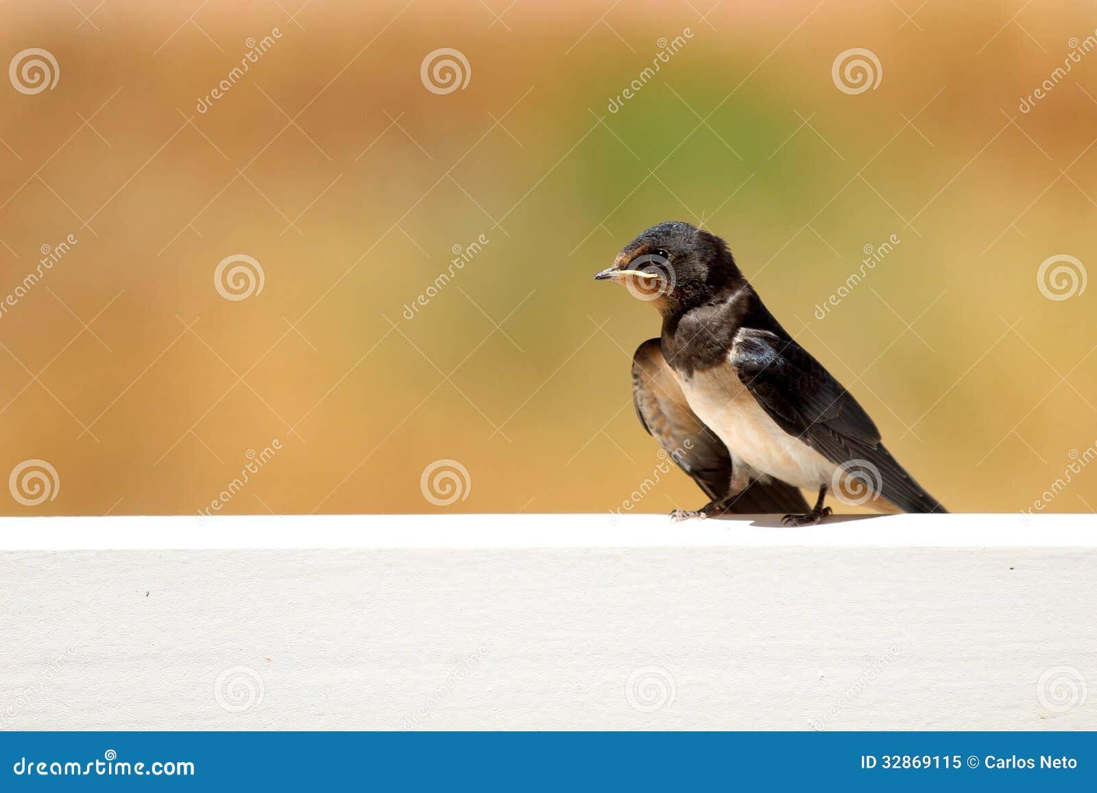 Jeune Martin (urbicum de Delichon), un oiseau migrateur de passerine de t