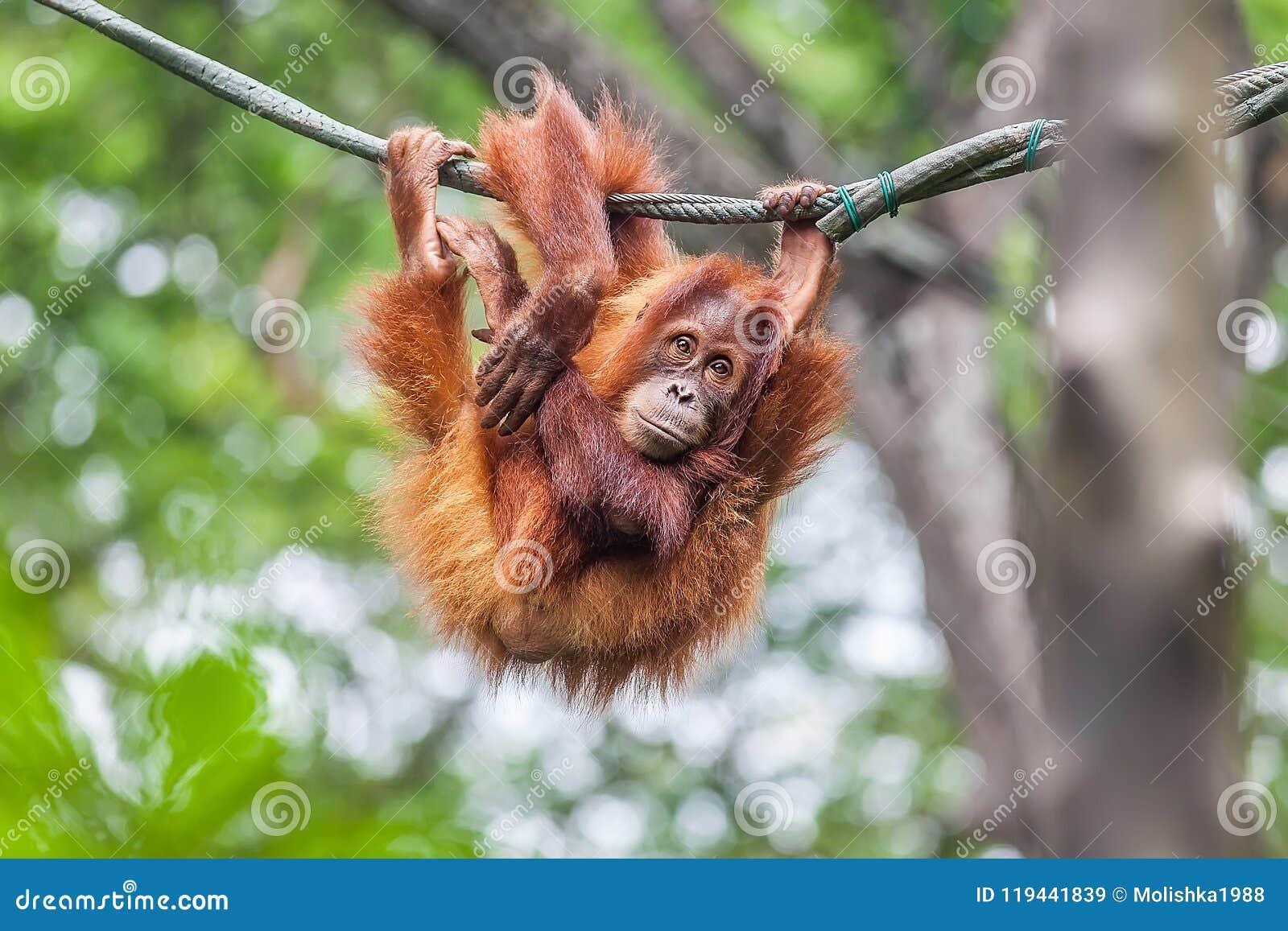 Jeune orang-outan balançant sur une corde