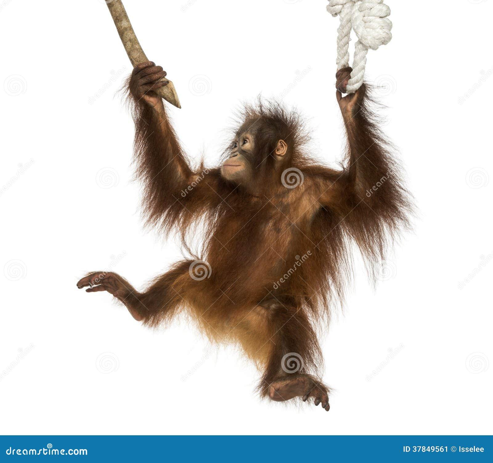 Jeune orang-outan de Bornean accrochant dessus à une branche et à une corde