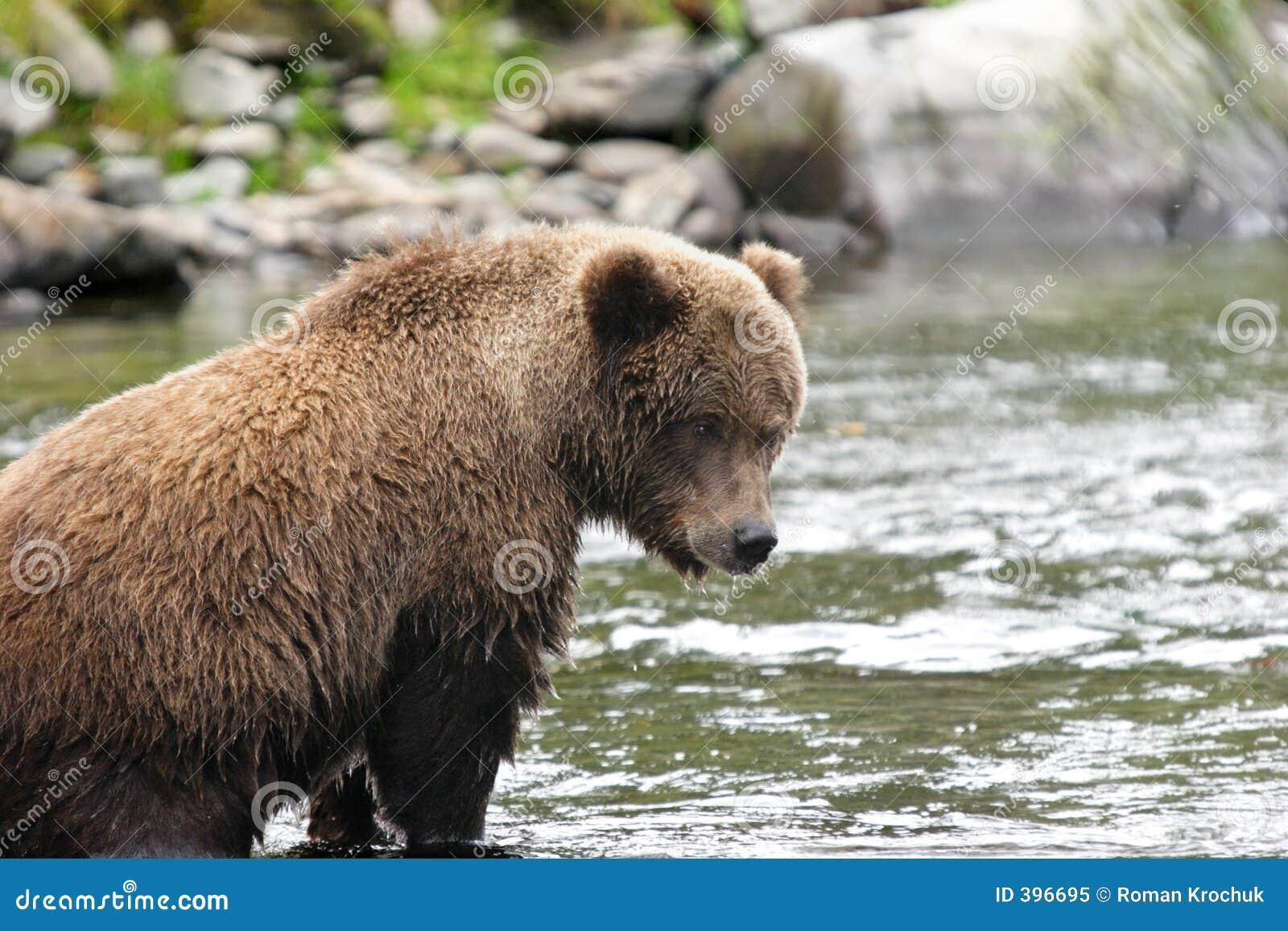 Jeune ours gris dans son endroit de pêche