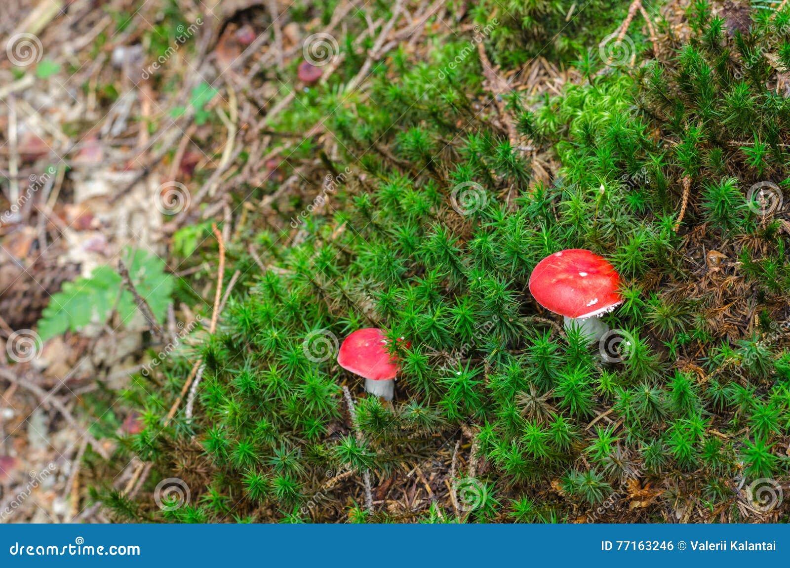 Jeune petit muscaria d amanite, champignons toxiques dans une forêt