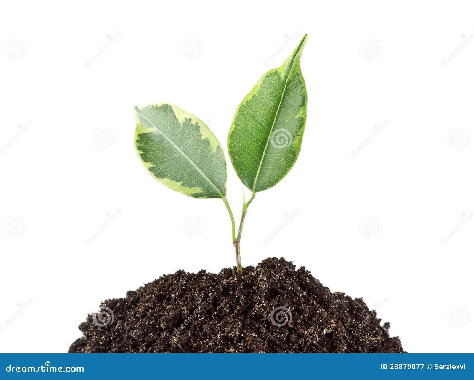 jeune petite plante verte photographie stock libre de droits image 28879077. Black Bedroom Furniture Sets. Home Design Ideas