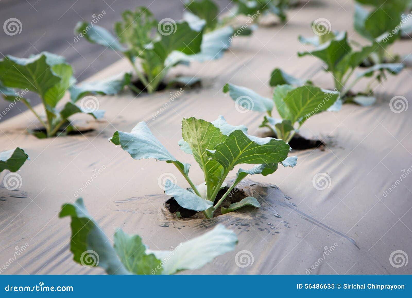 Jeune plante de chou dans le lit