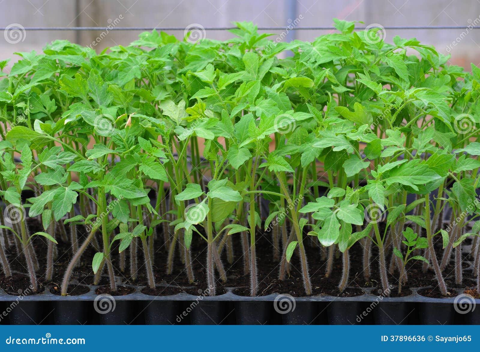 Jeune plante de tomate dans le plateau en plastique.