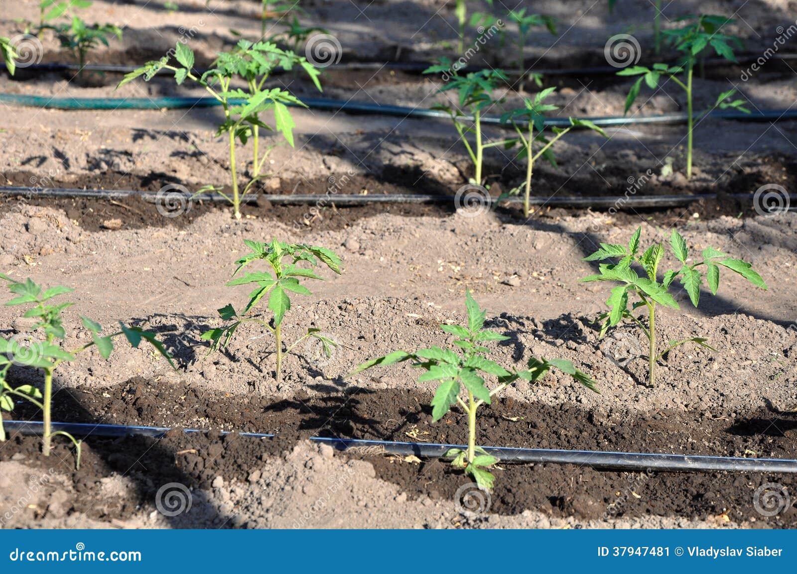 jeune plante de tomate de arrosage dans le sol ouvert. Black Bedroom Furniture Sets. Home Design Ideas