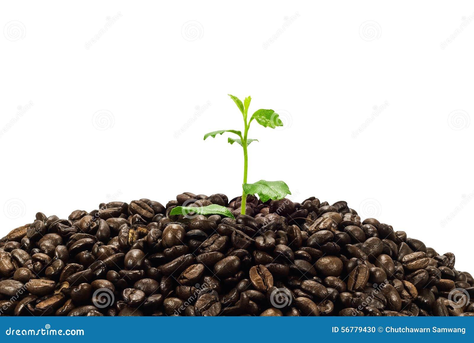 jeune plante verte en grains de café d'isolement sur le fond blanc